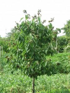 Listy na konci letorastov mladej čerešne poškodené voškou čerešňovou