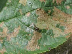List čerešne poškodený larvami piliarky čerešňovej – detail