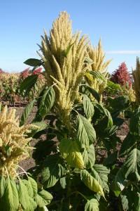 Amarantus (láskavec)