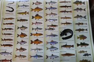V riekach je ešte stále hodne druhov rýb; na snímke sú tie najčastejšie