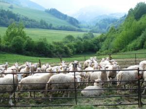 Ovce a valašky na hornom Gemeri