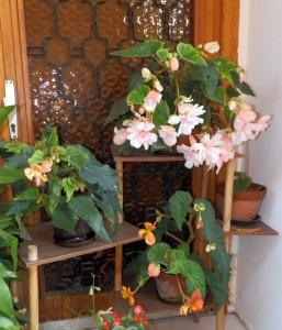 Kvitnúca hortenzia