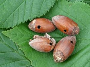 Plody lieskovca napadnuté nosáčikom