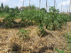Organické paradajky s organickou slamou
